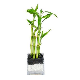 Lucky Bamboo Arrangement