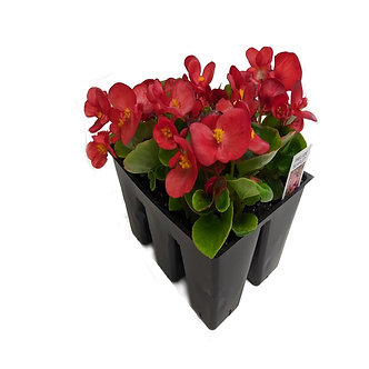 Begonia Market Pack Assorted Colors