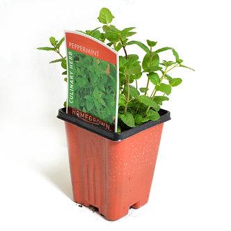 """Peppermint 4"""" Pot"""