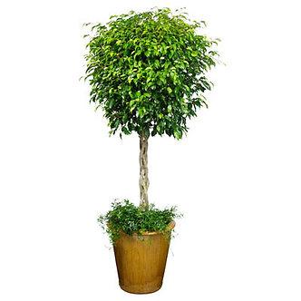 Braided Ficus in Pot