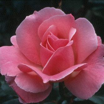 #3 Rose Grnd. 'Queen Elizabeth' #1 Grade
