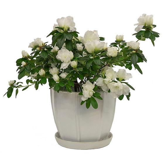 Azalea Bush in White
