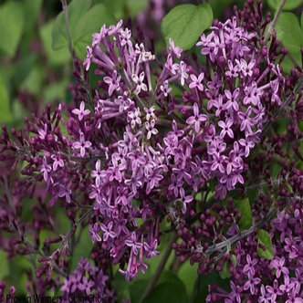 Fragrant Dark Purple Lilac