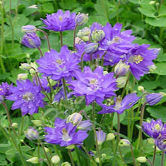 Polemonium Bressingham Purple 3QT