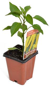 "Pepper 'Sweet Banana' 3.5"" Pot"