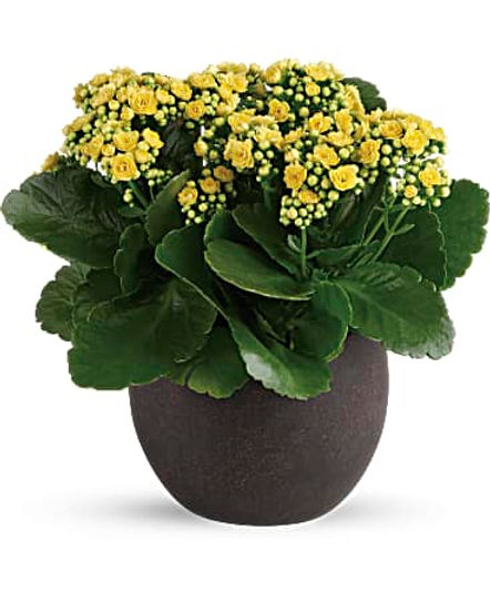 Forever Yellow Kalanchoes