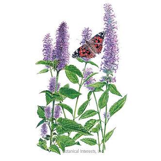 Hyssop Lavender