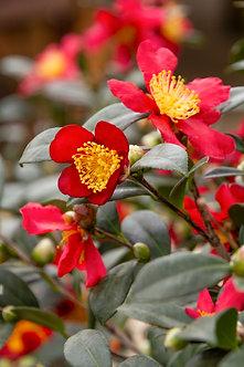 Camellia 'Tuletide' #3