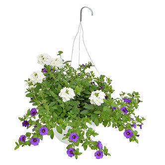 """Hanging Basket 10"""" Verbena & Calibrachoa"""