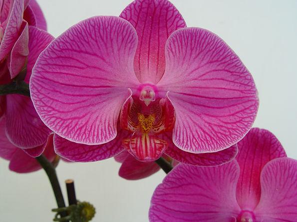 Orchid - Pink & Purple Veins