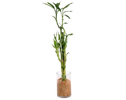 Lucky Bamboo in Tall Cylinder