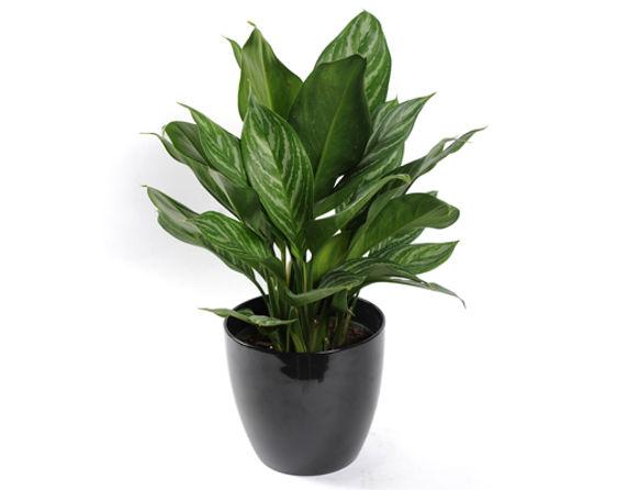 Aglaonema Stripes in Pot