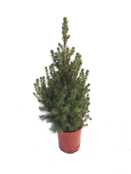 Dwarf Alberta Spruce #1