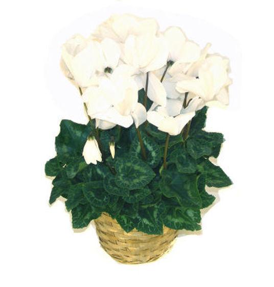 Cyclamen w/Pot White