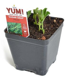 "Peas 'Sugar Snap' 3.5"" Pot"