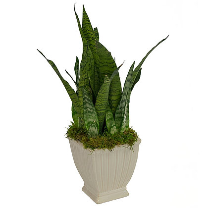Sansevieria in White