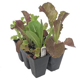 Musclin Mix Lettuce Market Pack