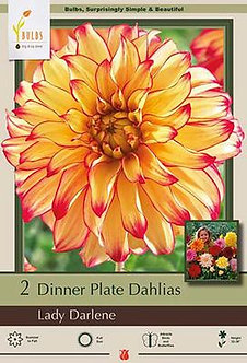 DAHLIA DINNER PLATE LADY DARLENE
