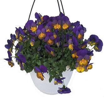 """Viola Hanging Basket 10"""""""