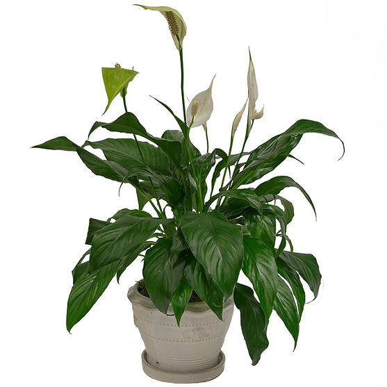 Peace Lily in White