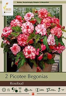 BEGONIA PICOTEE ROSEBUD (RED & WHITE)