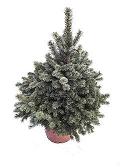 Blue Spruce #6
