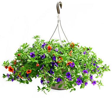 Calibrachoa Minifamous Hanging Basket