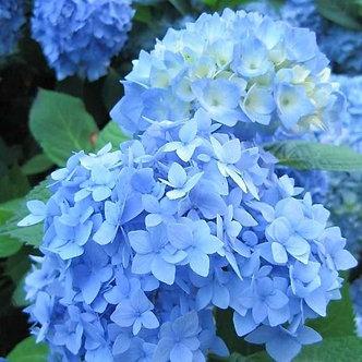 Hydrangea Nikko Blue 3 Gallon