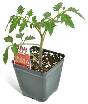 "Tomato 'Big Boy' 3.5"" Pot"