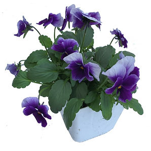Pansy-Purple-white-4.5.jpg