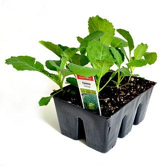 Cabbage Market Pack