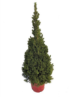 Dwarf Alberta Spruce #3