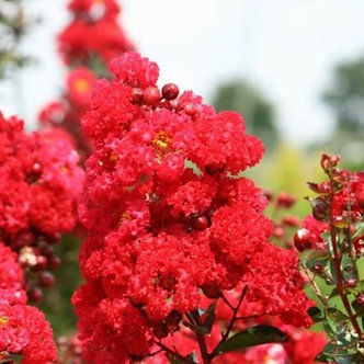 Crape Myrtle - Red Rooster #3