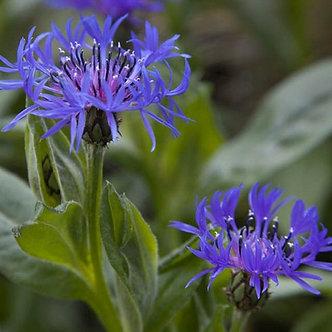 Centaurea montana #1