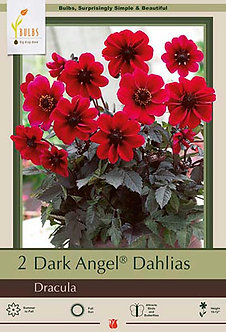 DAHLIA DRACULA - DARK ANGEL SERIES