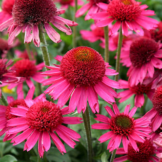 Echinacea Delicious Candy #1
