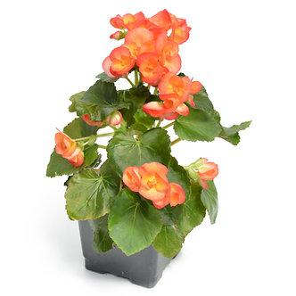 "Rieger Begonia Apricot 4.5"" Pot"