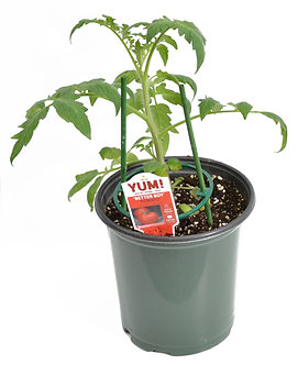 Tomato 'Better Boy' 1 Gallon Pot