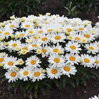 Leucanthemum sup. 'Cream Puff' PP30074 #1