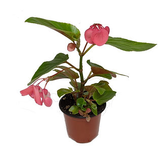 """Dragon Wing Begonia 4.5"""" Pot"""