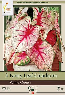 CALADIUM FANCY LEAF (BULBS) WHITE QUEEN