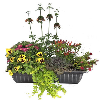 Fall Cool Weather Annual Patio Container Window Box Shape