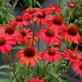 Echinacea Kismet Red #1