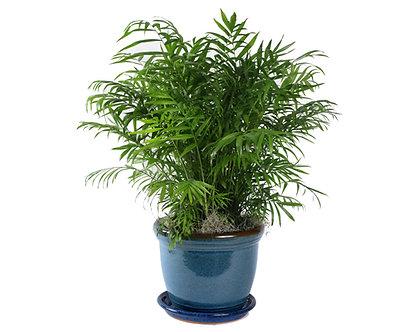 Neanthe Bella Palm in Pot