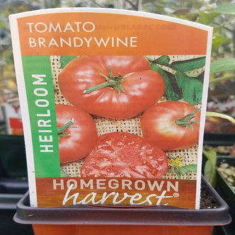 "Tomato Heirloom 'Brandy Wine' 3.5"" Pot"