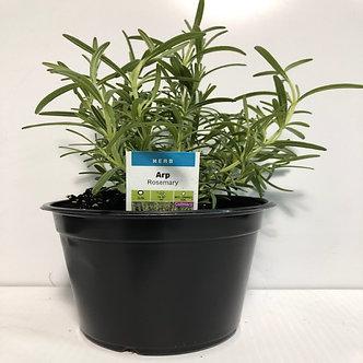 """Rosemary 6"""" Pot"""