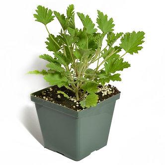 Scented Geranium 'Citronella' 4.5 Pot