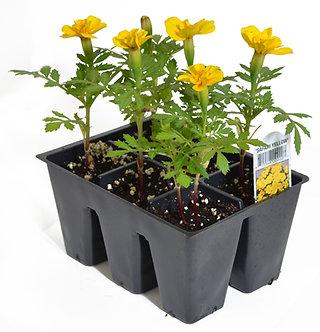 Marigold Yellow Market Pack