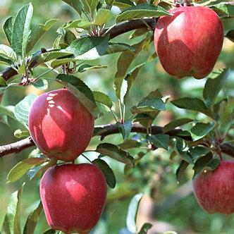 Apple Semi-Dwarf 'Gala'