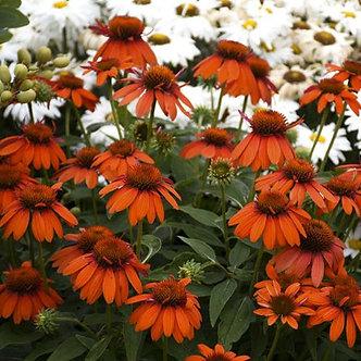 Echinacea Sombrero Adobe Orange #1
